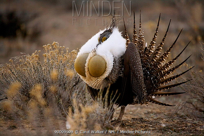 Sage Grouse (Centrocercus urophasianus) male courtship display, Baggs, Wyoming  -  Carol Walker/ npl