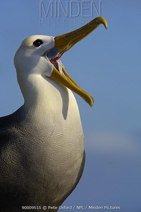 Waved albatross (Phoebastria irrorata) calling, Galapagos  -  Pete Oxford/ npl