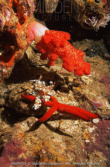 Harlequin shrimp (Hymenocerca picta) with starfish prey, Andaman sea, Thailand  -  Georgette Douwma/ npl