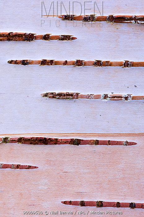 Silver Birch (Betula verrucosa) bark,, Songli, Norway  -  Niall Benvie/ npl
