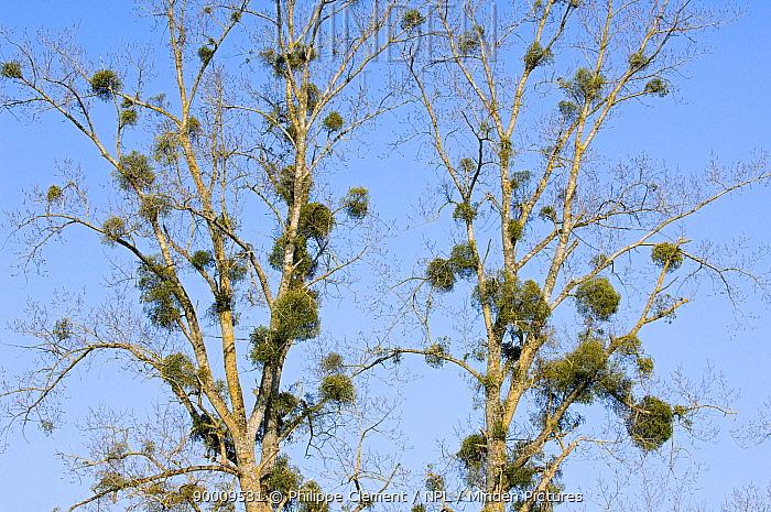 Mistletoe (Viscum album) in Poplar tree (Populus sp) La Brenne, France  -  Philippe Clement/ npl