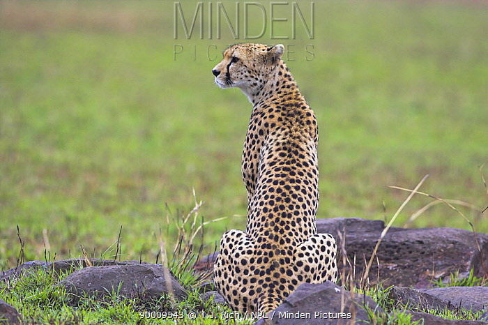 Cheetah (Acinonyx jubatus) female Cheetah on alert, sitting rear view, Masai Mara Reserve, Kenya  -  T.J. Rich/ npl