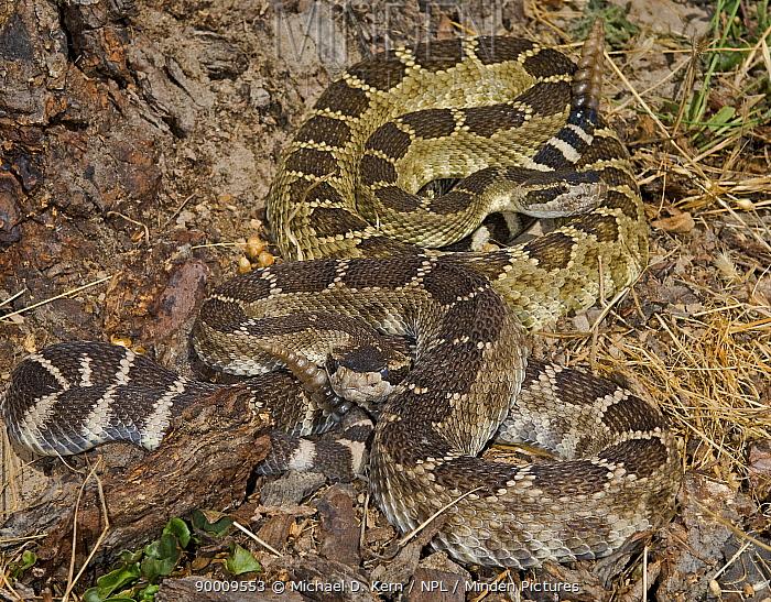 Northern Pacific Rattlesnake (Crotalus oreganus oreganus) captive, from Central and Northern California, USA  -  Michael D. Kern/ npl