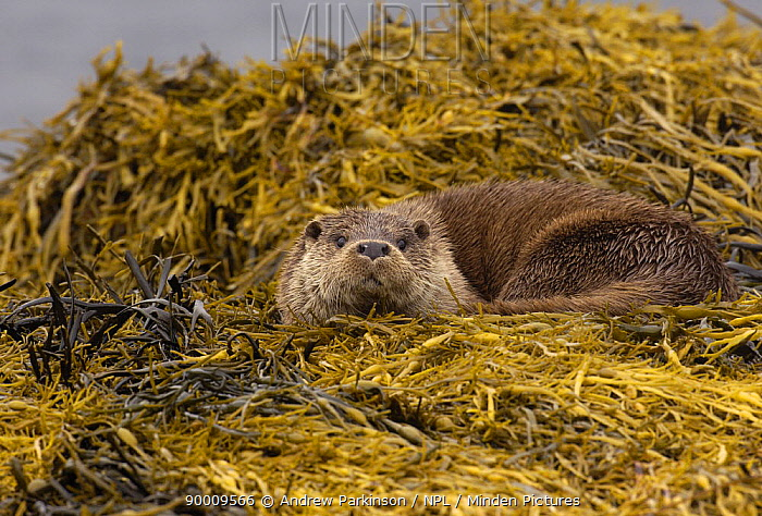 European River Otter (Lutra lutra) adult resting on seaweed on a rocky shore, Isle of Mull, Scotland United Kingdom  -  Andrew Parkinson/ npl