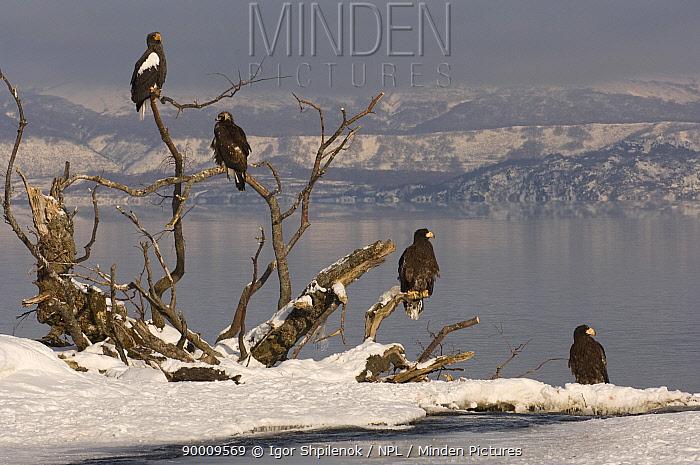 Steller's Sea Eagle (Haliaeetus pelagicus) adult and juveniles perched beside Kuril Lake, Kamchatka, Far East Russia  -  Igor Shpilenok/ npl