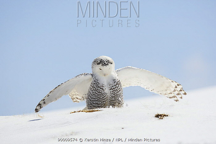Snowy Owl (Nyctea scandiaca) adult female landing on snow, winter, Europe Captive, Falconer's bird, Austria  -  Kerstin Hinze/ npl