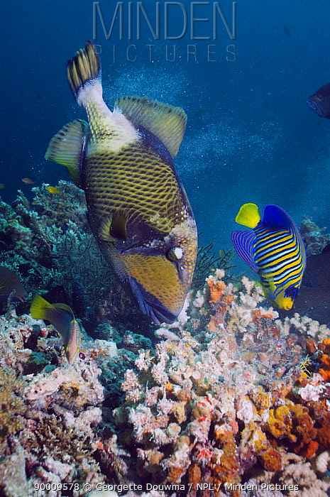 Titan Triggerfish (Balistoides viridescens), chewing on coral, with a Regal angelfish (Pygoplites diacanthus) taking advantage of the exposed rock Andaman Sea, Thailand  -  Georgette Douwma/ npl