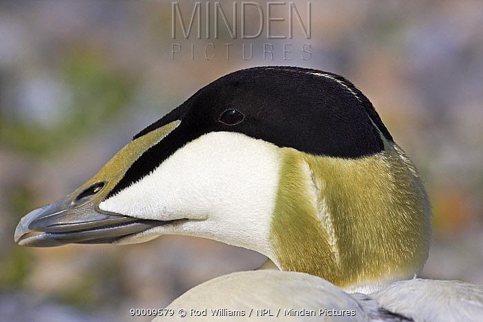 Common Eider (Somateria mollissima) male, captive, from Iceland, British Isles, Scandinavia  -  Rod Williams/ npl