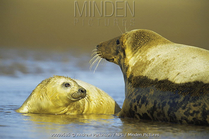 Grey Seal (Halichoerus grypus) and pup in shallow water, Donna Nook, Lincolnshire  -  Andrew Parkinson/ npl