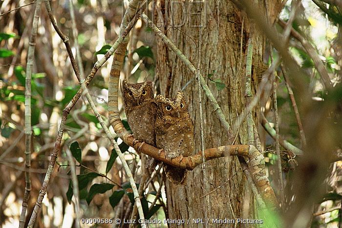 Sokoke scops owl pair, grey phase, Endangered (Otus ireneae) Arabuko Sokoke, Kenya  -  Luiz Claudio Marigo/ npl