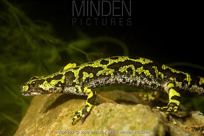 Marbled Newt (Triturus marmoratus) profile, Picos de Europa, Spain  -  Jose B. Ruiz/ npl