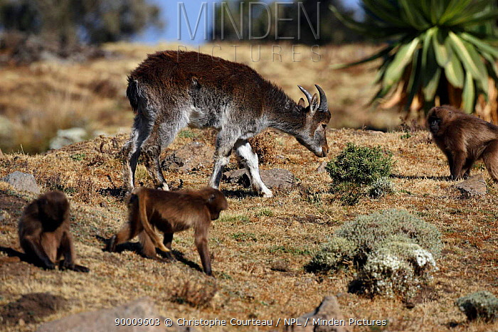 Young Walia ibex (Capra walie) and Gelada Baboons (Theropithecus gelada) Baboons alarm easily and warn Ibex of any danger, Simien NP, Ethiopia  -  Christophe Courteau/ npl