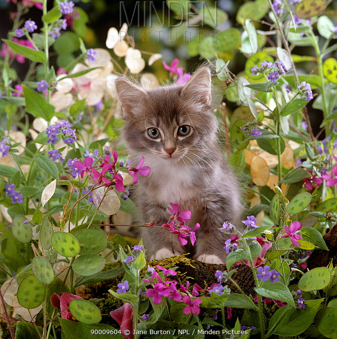 Domestic Cat (Felis catus) 7-week, Fluffy grey male kitten 'Perseus' among flowers  -  Jane Burton/ npl