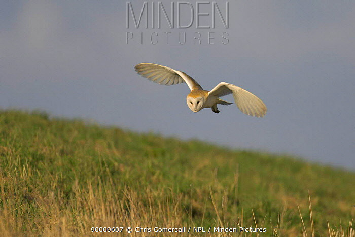 Barn Owl (Tyto alba) adult hunting in daylight, Norfolk, United Kingdom  -  Chris Gomersall/ npl