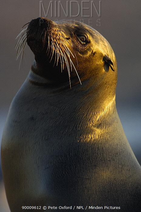 Galapagos sealion (Zalophus californianus wollebaeki) Fernandina Is, Galapagos  -  Pete Oxford/ npl