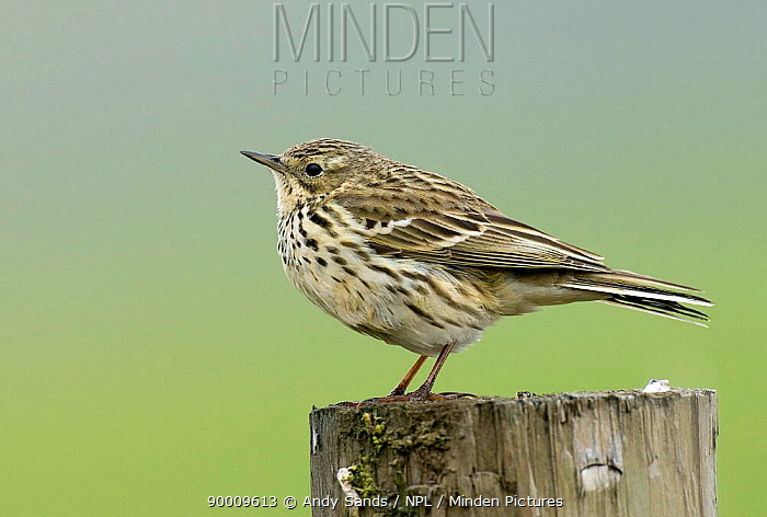 Meadow Pipit (Anthus pratensis) portrait on fence post, Upper Teesdale, County Durham, United Kingdom  -  Andy Sands/ npl