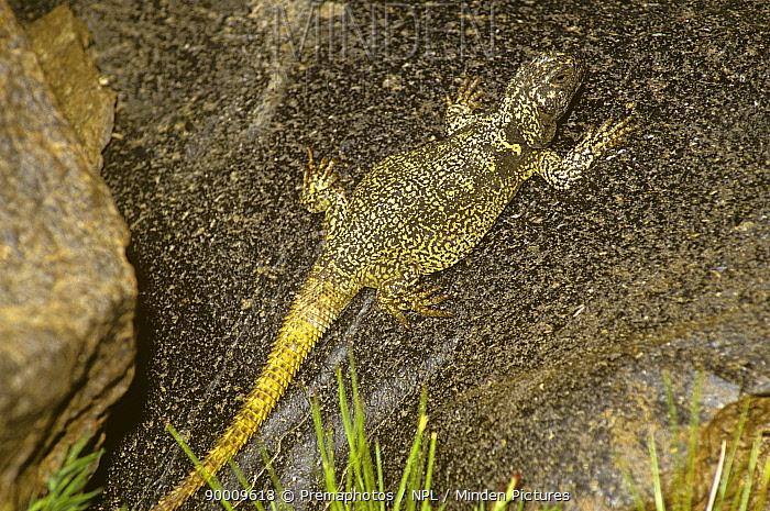 Eight Gold-speckled lava lizard (Phymaturus pulluma) basking on lava, Andes, Chile  -  Premaphotos/ npl