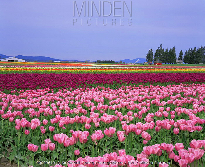 Colourful rows of cultivated Tulipa (Tulipa genus) growing at Tulip Town, Skagit Valley, Washington, USA  -  Kirkendall-spring/ npl