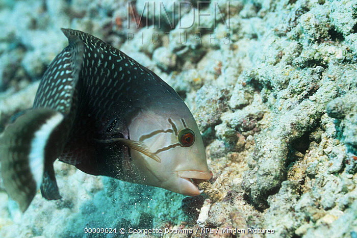 Dragon Wrasse (Novaculichthys taeniourus) moving a rock to search for prey on coral reef, Bunaken National Park, North Sulawesi, Indonesia  -  Georgette Douwma/ npl