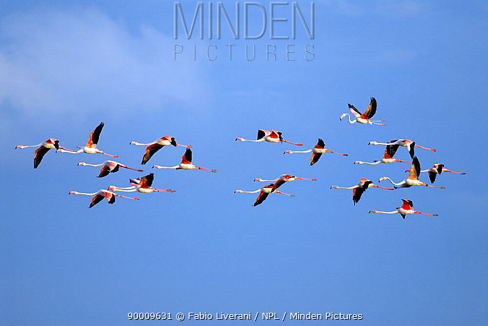 European Flamingo (Phoenicopterus ruber roseus) in flight against a blue sky, delta region of the River Po, Italy  -  Fabio Liverani/ npl