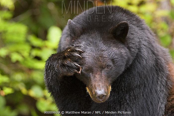 Black Bear (Ursus americanus) scratching its head Clayoquot Sound, Vancouver Island, Canada  -  Matthew Maran/ npl