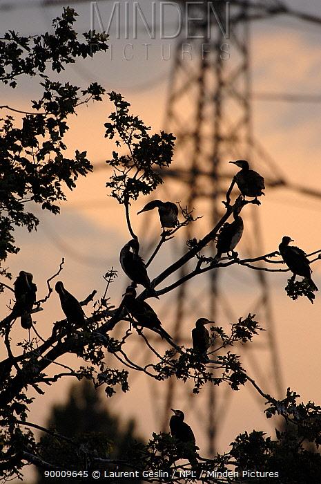 Great Cormorant (Phalacrocorax carbo) colony nesting in a tree close to an electrcity pylon Walthamstow, London, United Kingdom  -  Laurent Geslin/ npl