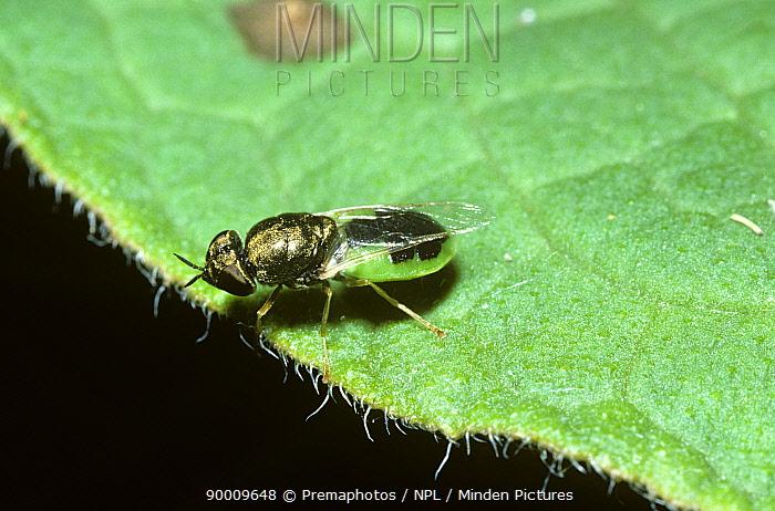 Common green colonel soldier fly (Oplodontha, Odontomyia viridula) in a marsh, UK  -  Premaphotos/ npl