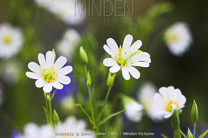 Greater stitchwort (Stellaria holostea) in flower, Sussex, UK  -  Simon Colmer/ npl