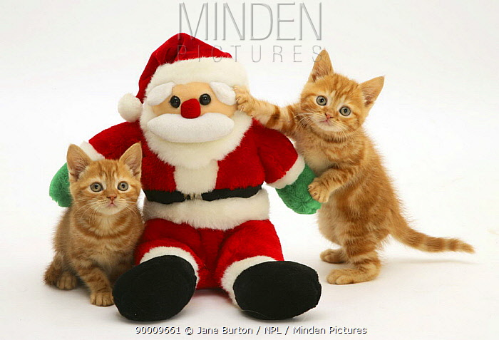 Domestic Cat (Felis catus) two Red tabby kittens with Father Christmas toy  -  Jane Burton/ npl
