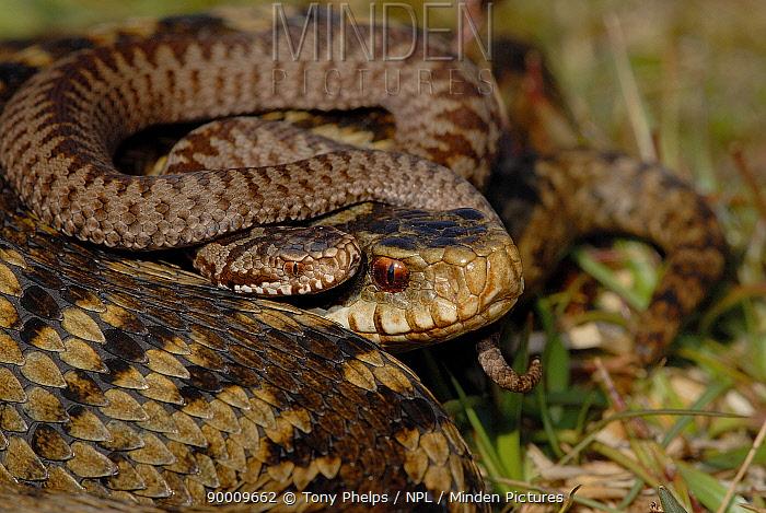 Common European Adder (Vipera berus) female and new born baby, Surrey, United Kingdom  -  Tony Phelps/ npl