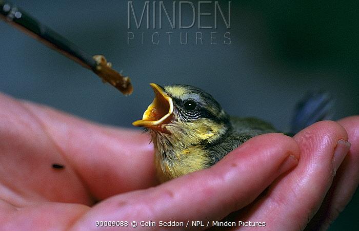 Blue Tit (Parus caeruleus) chick fed by person, United Kingdom  -  Colin Seddon/ npl