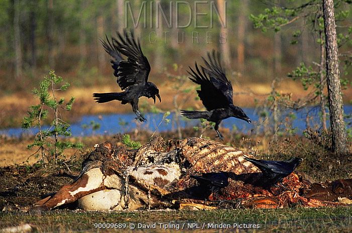 Common Raven (Corvus corax) scavenging dead cow Finland, Europe  -  David Tipling/ npl