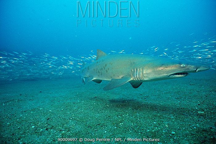 Grey Nurse Shark (Carcharias taurus), Atlantic Ocean  -  Doug Perrine/ npl