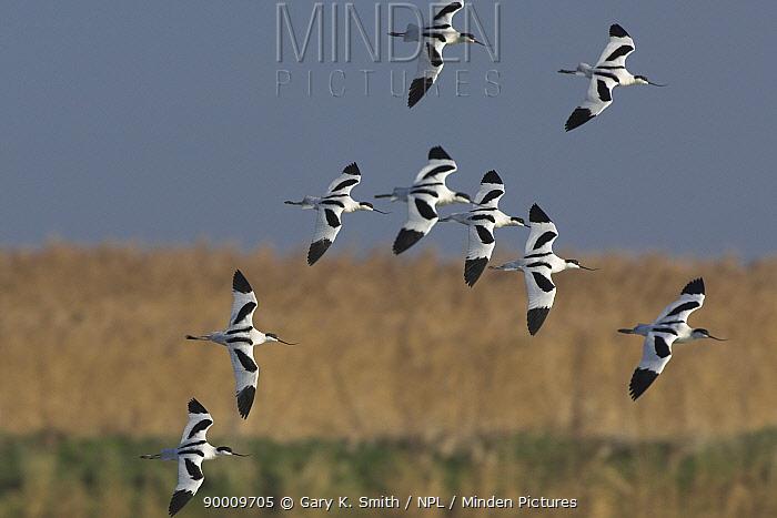 Pied Avocet (Recurvirostra avosetta) flock in flight over coastal scrape, Norfolk, United Kingdom  -  Gary K. Smith/ npl