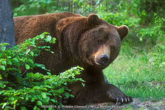 Brown Bear (Ursus arctos) in forest, Bavaria, Germany,  -  Philippe Clement/ npl