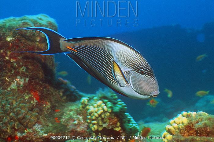 Sohal surgeonfish (Acanthurus sohal) Red Sea, Egypt  -  Georgette Douwma/ npl
