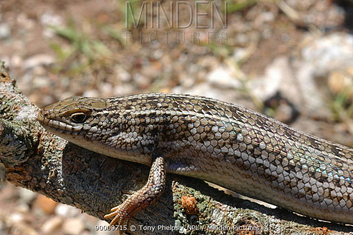 Cape Skink (Mabuya capensis) DeHoop, Western Cape, South Africa  -  Tony Phelps/ npl