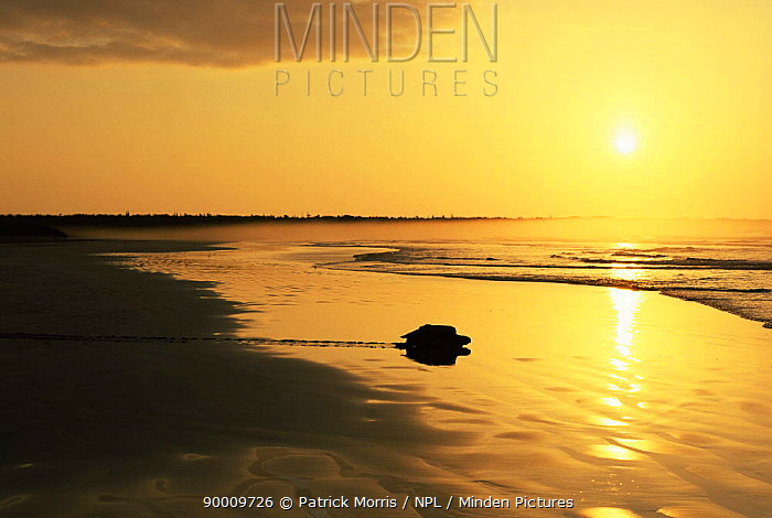 Green Sea Turtle (Chelonia mydas) female on her way back to the sea at dawn after laying eggs on Quinta Playa beach, Isabela Is, Galapagos, Ecuador  -  Patrick Morris/ npl