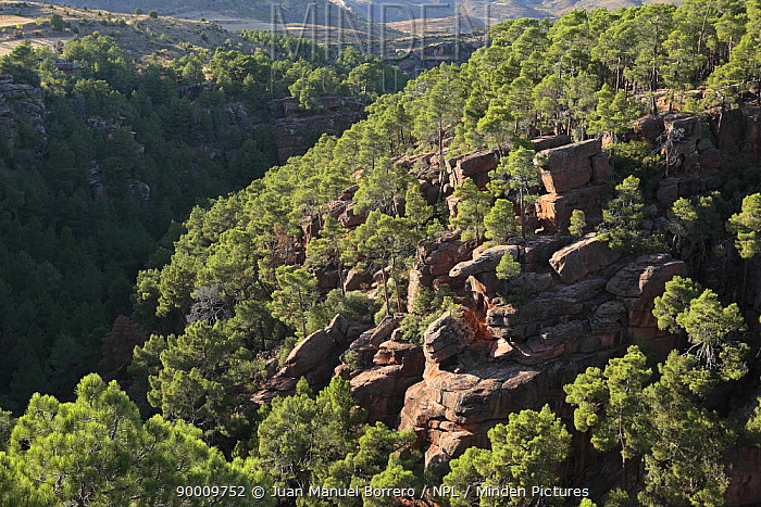 Rocky outcrops in the pine wood of Rodeno, Albarracin, Teruel, Spain  -  Juan Manuel Borrero/ npl