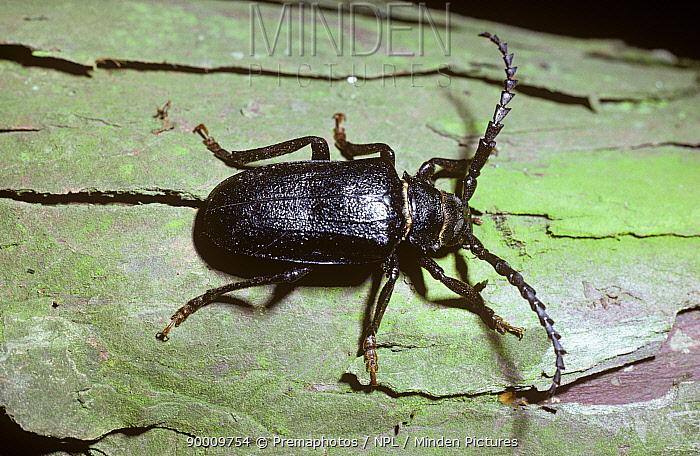 Tanner Beetle (Prionus coriarius) male, United Kingdom  -  Premaphotos/ npl