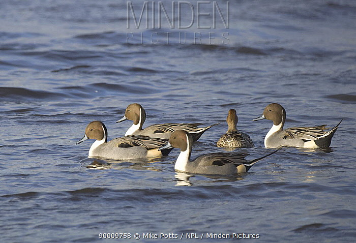 Northern Pintail (Anas acuta), Four males courting one female, Martin Mere, Lancashire, United Kingdom  -  Mike Potts/ npl