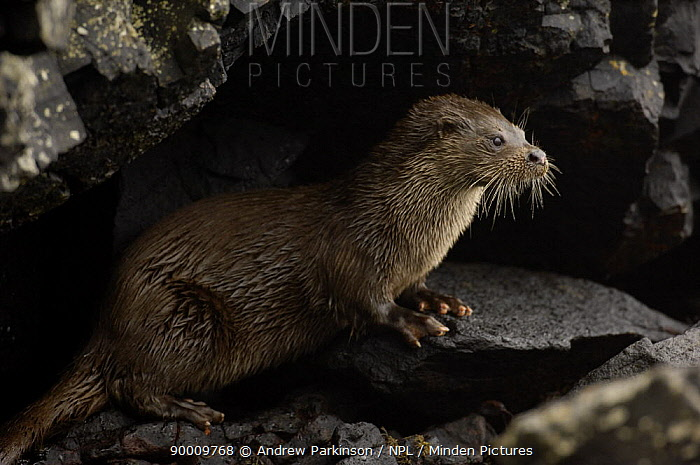 European River Otter (Lutra lutra) adult on rocks, Isle of Mull, Scotland United Kingdom  -  Andrew Parkinson/ npl