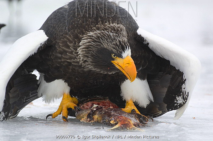 Steller's Sea Eagle (Haliaeetus pelagicus) feeding on Sockeye salmon prey, Kuril Lake, Kamchatka, Far East Russia  -  Igor Shpilenok/ npl