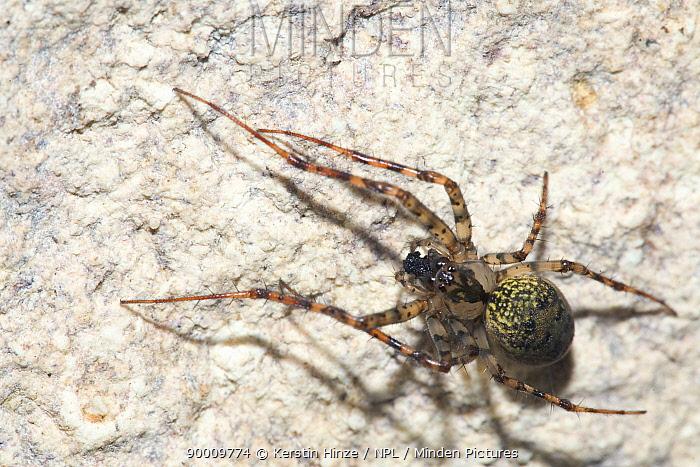 Cave Spider (Meta merianae) in cave Rocca Ulari, Borutta, Sardinia, Italy  -  Kerstin Hinze/ npl