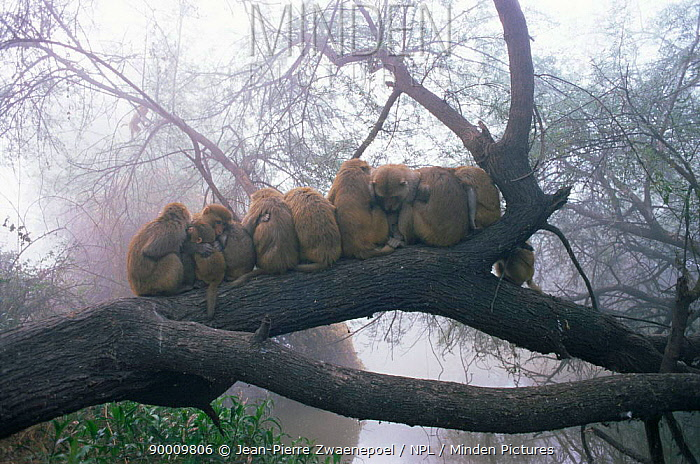 Rhesus Macaque (Macaca mulatta) huddled on branch for warmth at dawn, Keoladeo Ghana National Park, Rajasthan, India  -  Jean-pierre Zwaenepoel/ npl