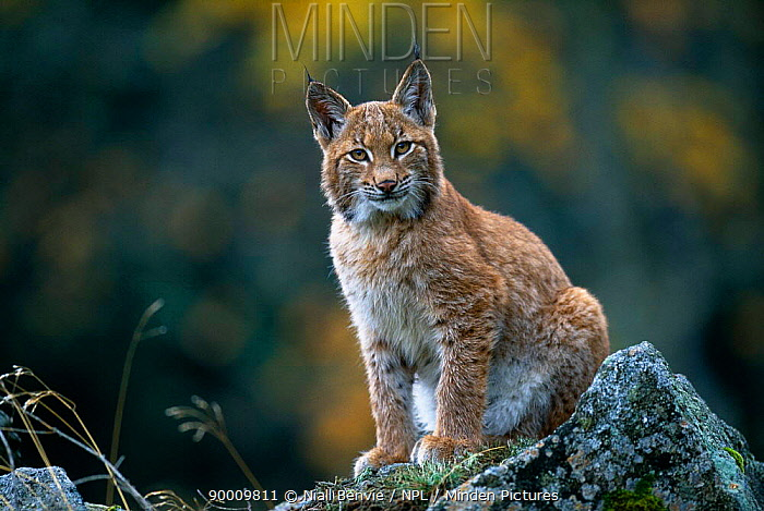 Eurasian Lynx (Lynx lynx) young male at edge of forest, Sumava National Park, Bohemia, Czech Republic  -  Niall Benvie/ npl