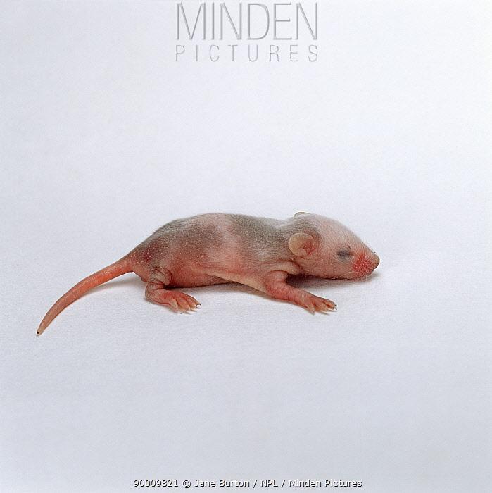 Baby Skewbald mouse (Mus genus), 1 week old  -  Jane Burton/ npl