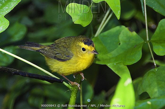 Wilson's Warbler (Wilsonia pusilla) young male, Texas  -  Rolf Nussbaumer/ npl