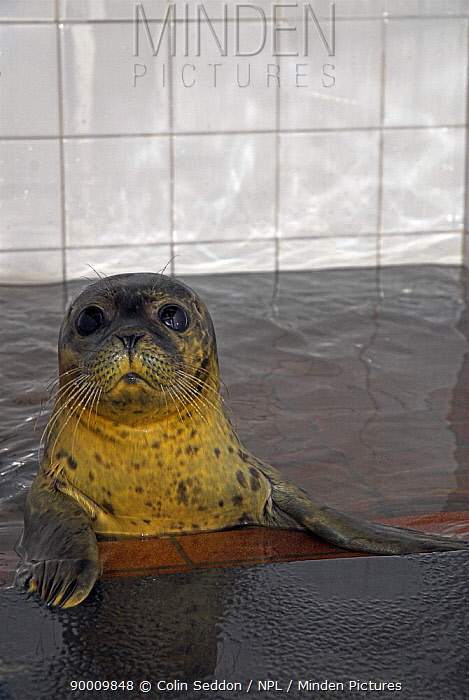 Common Seal (Phoca vitulina) after being rescued UK  -  Colin Seddon/ npl