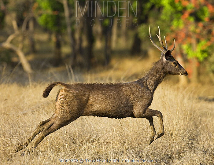 Sambar (Cervus unicolor) running, Bandhavgarh National Park, Madhya Pradesh, India  -  Tony Heald/ npl